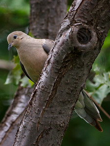 Tight crop, single point spot AF, hand held, focus on the dove's eye, focus did not shift to the limb..