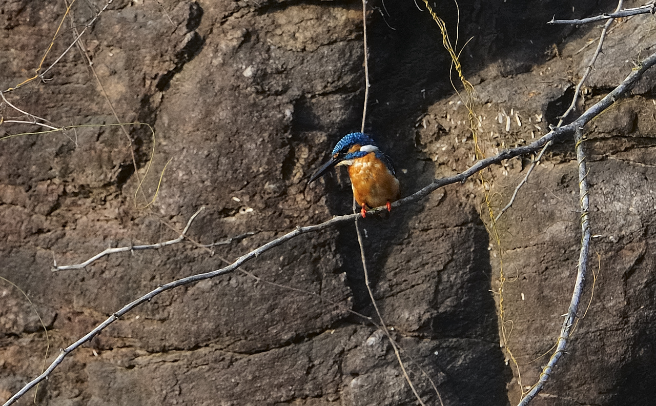 Common Kingfisher - May 10th 2009