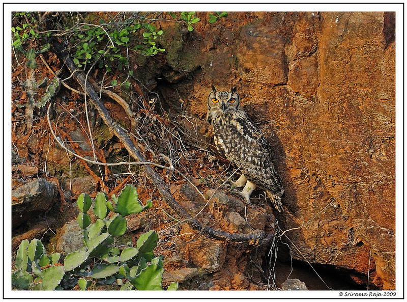 Great Horned Owl - May 10th 2009