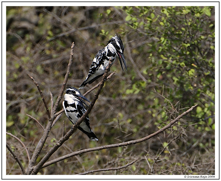 Pied Chat - Pied Kingfisher - May 10th 2009