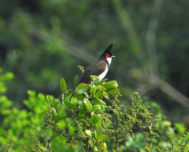 Red Whiskered Bulbul, Feb 8th 2009