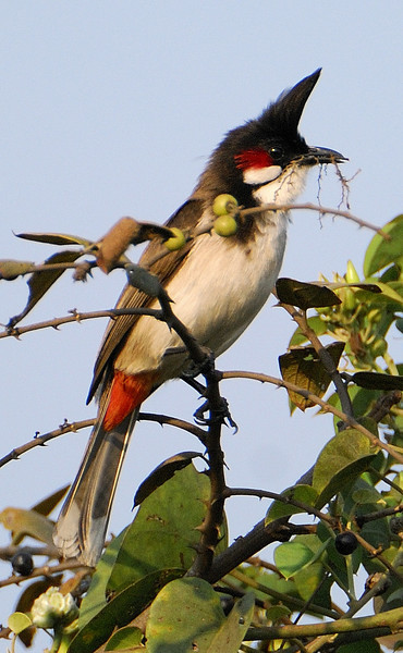Red Whiskered Bulbul, Feb 15th 2009