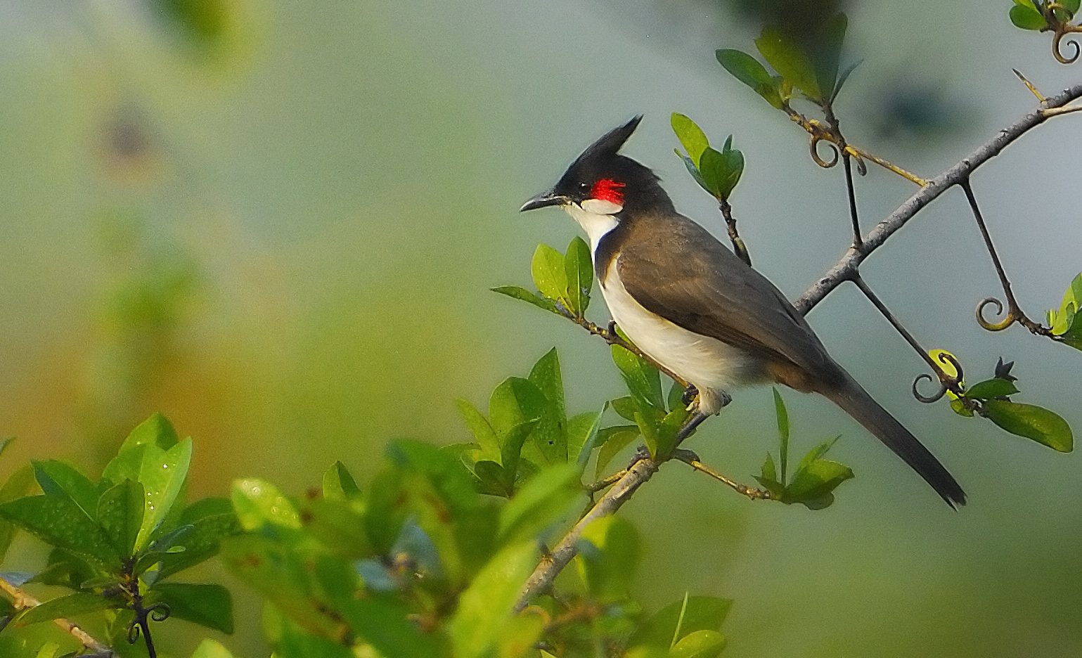 Red Whiskered Bulbul - Feb 15th 2009
