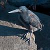 Lava or Galapagos Heron-Santiago Island-Galapagos-1