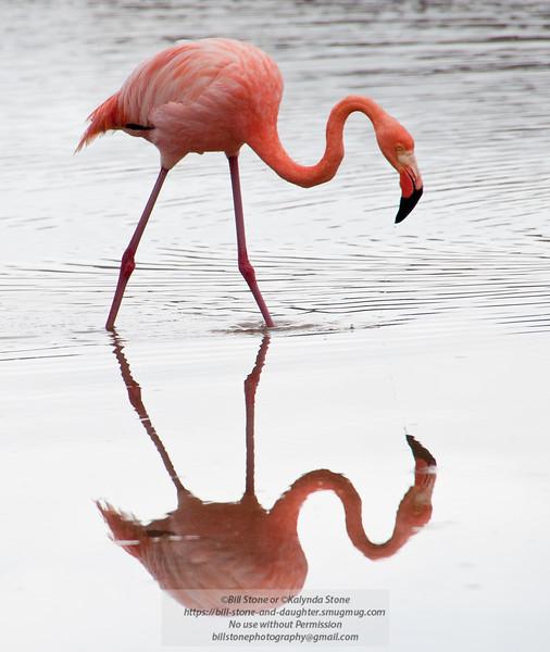 Flamingo 4-Isla Floreana-Galapagos