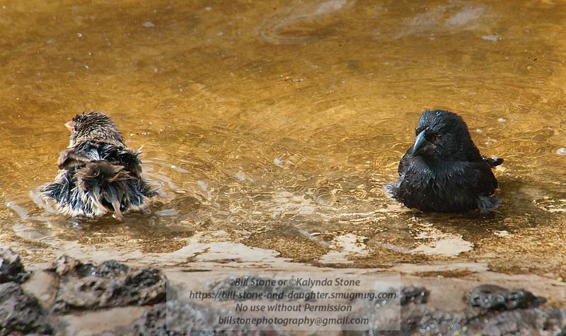 Bathing Darwin Finches-Isla Santa Cruz-Galapagos