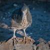 Lava or Galapagos Heron-Santiago Island-Galapagos-3