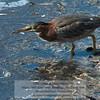 Green Heron (Butorides virescens) Alameda County, California