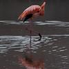 Flamingo 10-Isla Floreana-Galapagos