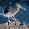 Lava or Galapagos Heron-Santiago Island-Galapagos-2