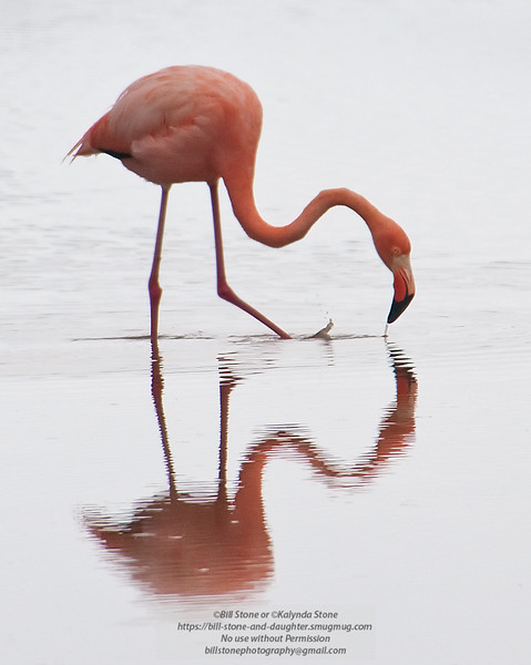 Flamingo 2-Isla Floreana-Galapagos