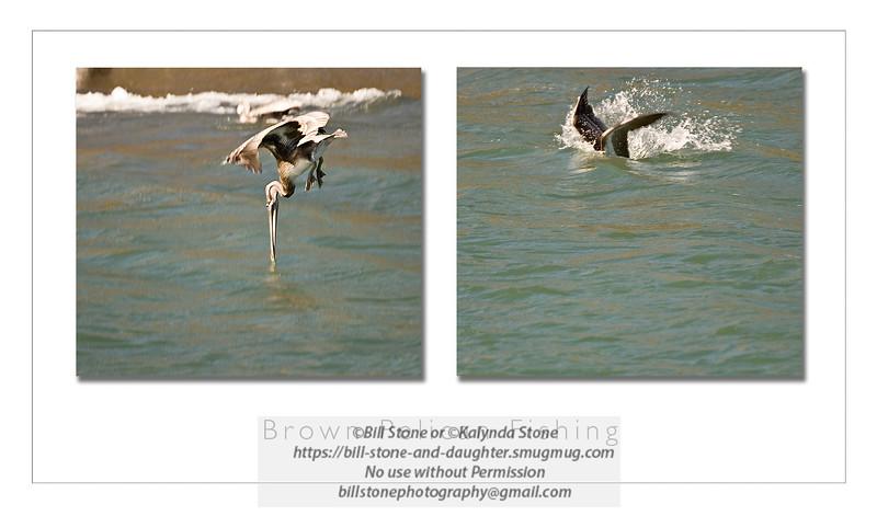 brown pelican fishing, mouth of russian river, california