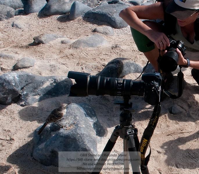 Galapagos Mockingbird poses-Isla Espańola-Galapagos
