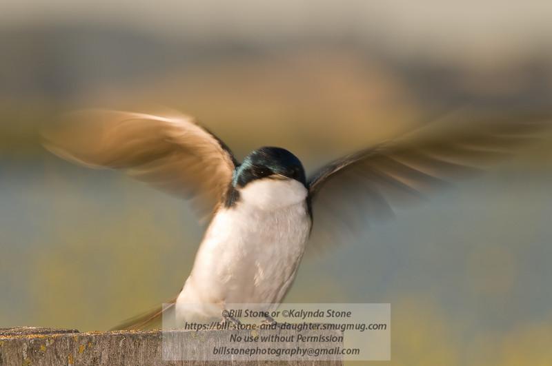 Tree Swallow-Tachycineta bicolor-Petaluma California