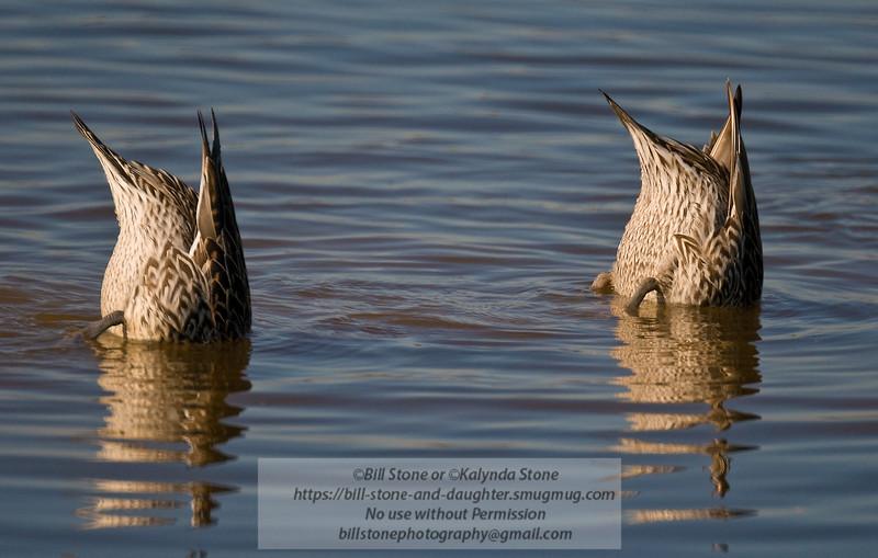 female northern shovelers-Anas clypeata- show dabbler duck feeding behavior