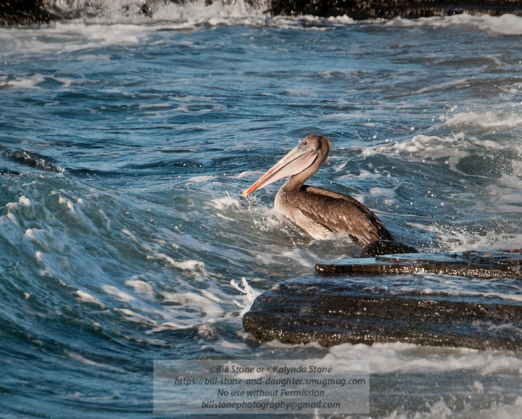 Brown Pelican-Santiago Island-Galapagos-4