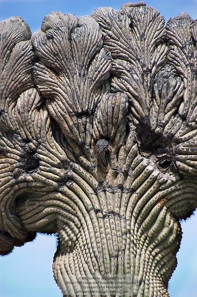 an unusual saguaro and gila woodpecker