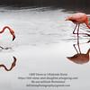 Flamingo 5-Isla Floreana-Galapagos