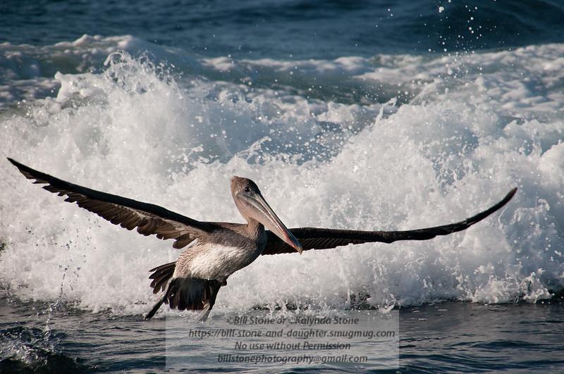 Brown Pelican-Santiago Island-Galapagos-8