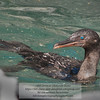 Galapagos Flightless Cormorant - Nannopterum harrisi) - Punta Vicente Roca - Galapagos
