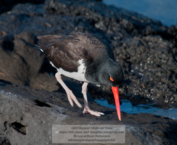 American Oyster Catcher-Santiago Island-Galapagos-2