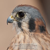 American Kestrel, Falco sparverius, Arizona