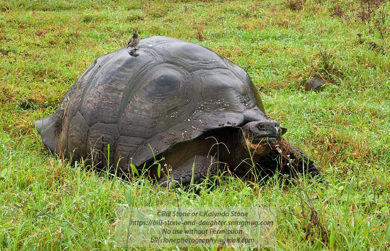 Darwin Finch and wild Galapagos Tortoise-Isla Santa Cruz -Galapagos