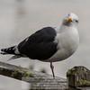 Western Gull (Larus occidentals)<br /> 4/25/2016 Bill Stone