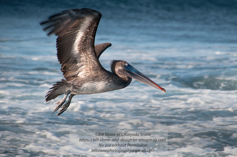 Brown Pelican-Santiago Island-Galapagos-7
