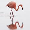 Flamingo 3-Isla Floreana-Galapagos