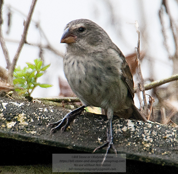 Darwin Finch-Isla Santa Cruz - Galapagos