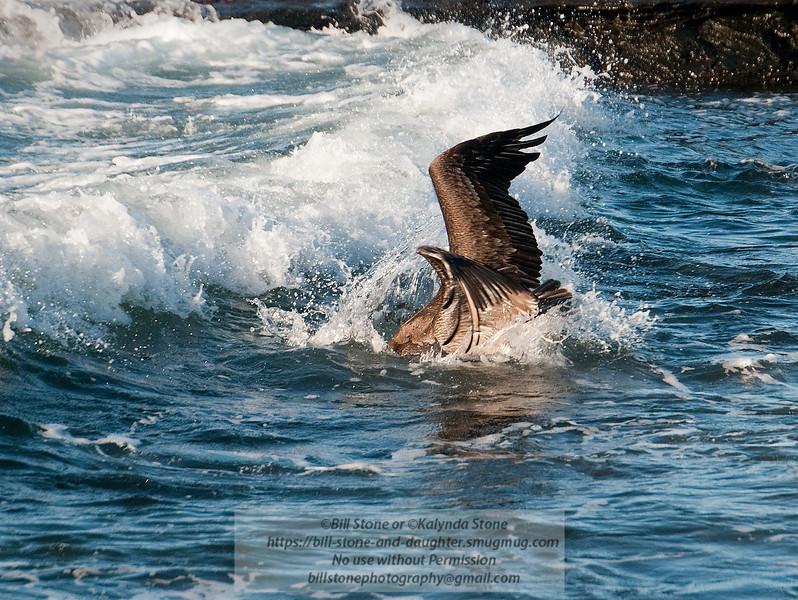 Brown Pelican-Santiago Island-Galapagos-3