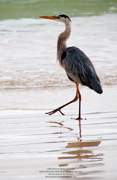 Great Blue Heron 1-Isla Floreana-Galapagos