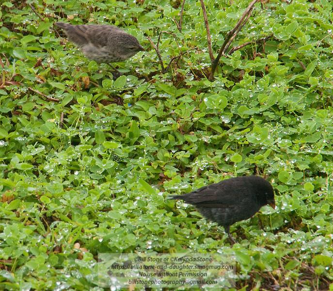 2 darwin finches-isla santa cruz-galapagos