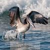 Brown Pelican-Santiago Island-Galapagos-6