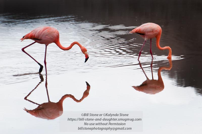 Flamingo 6-Isla Floreana-Galapagos