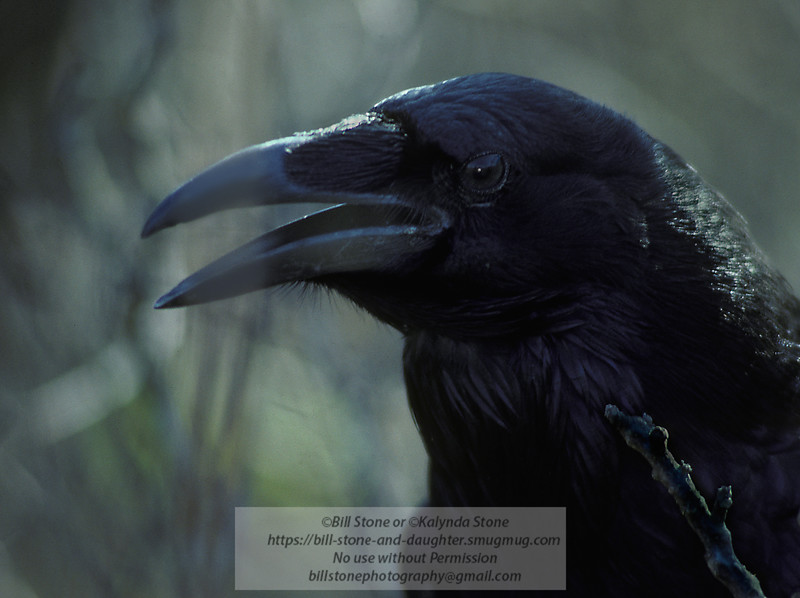 Common raven head detail Corvus corax
