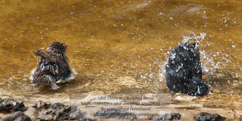 Bathing Darwin Finches-Isla Santa Cruz-Galapagos 2