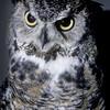 Great Horned Owl, Alexander Lindsay Junior Museum