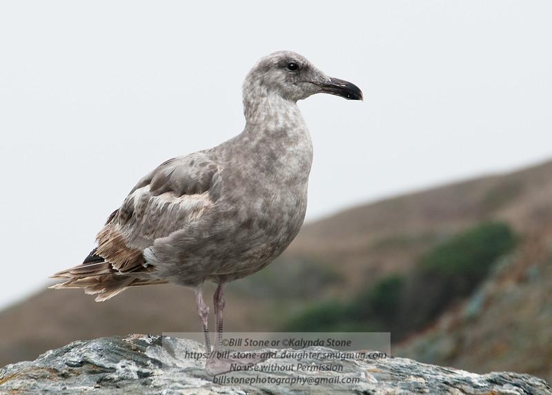 Immature Western Gull - Sonoma County