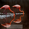 Flamingo 8-Isla Floreana-Galapagos