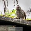 Darwin Finch-Isla Santa Cruz-Galapagos