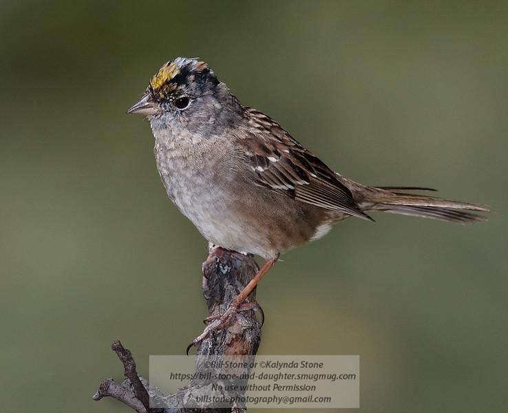 Golden-Crowned Sparrow - Zonotrichia atricapilla - Monterey County California