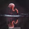Flamingo 1-Isla Floreana-Galapagos