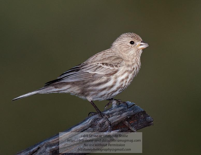 Female House Finch - Carpodacus mexicanus - Monterey Couny, California