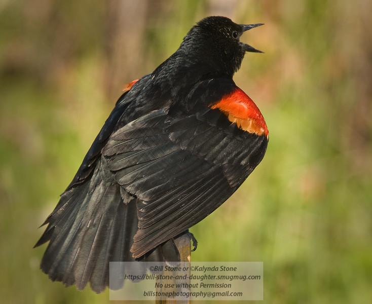 Red-Winged Blackbird-Agelaius phoeniceus-Petaluma-California