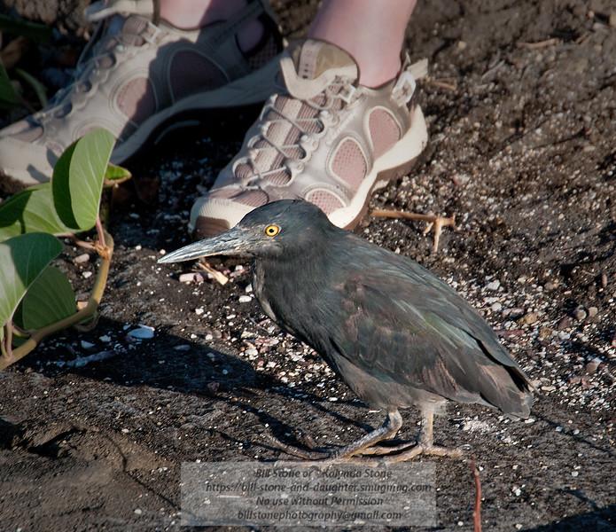 Lava Heron and Visitor-Santiago Island-Galapagos-2