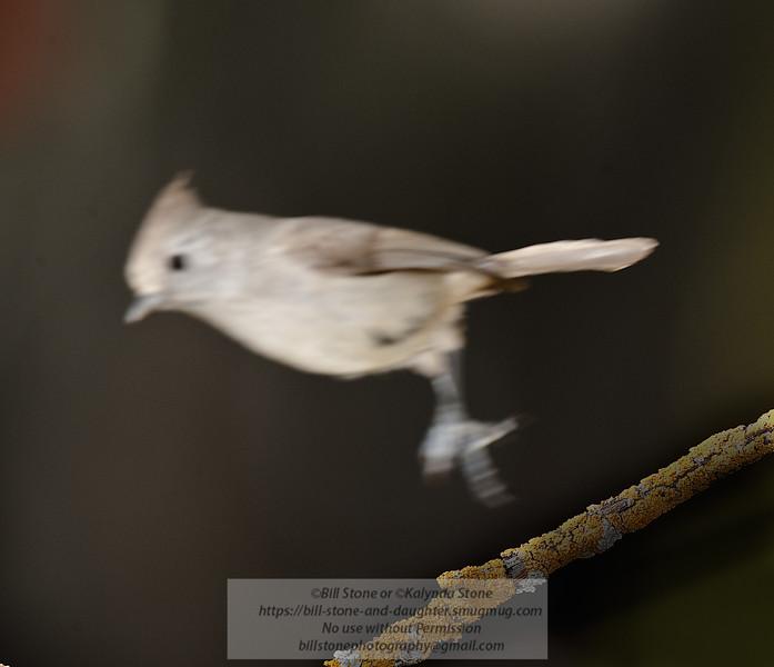 Oak Titmouse - Baeolophus inornatus - Monterey County - California