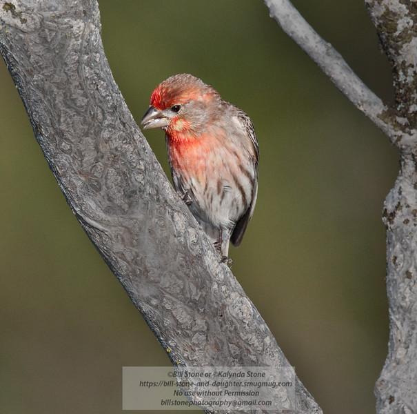 Male House Finch - Carpodacus mexicanus - Monterey Couny, California