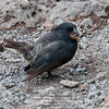 A Darwin Finch-Isla Santa Cruz-Galapagos 2